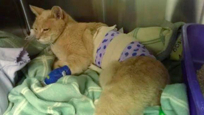 In a Sept. 3 photo provided by Lauri Stec, Stubbs, the cat that has served as longtime honorary mayor of Talkeetna, Alaska, is shown recovering at the Big Lake-Susitna Veterinary Hospital in Big Lake, Alaska.