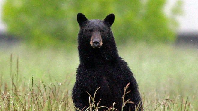 A black bear in New Jersey.