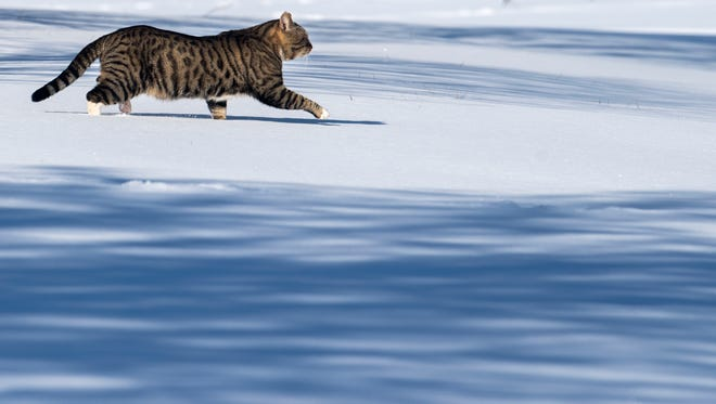 A cat walks through freshly-accumulated snow Tuesday, Jan. 16, 2017, by Gettysburg Drive in Jackson.