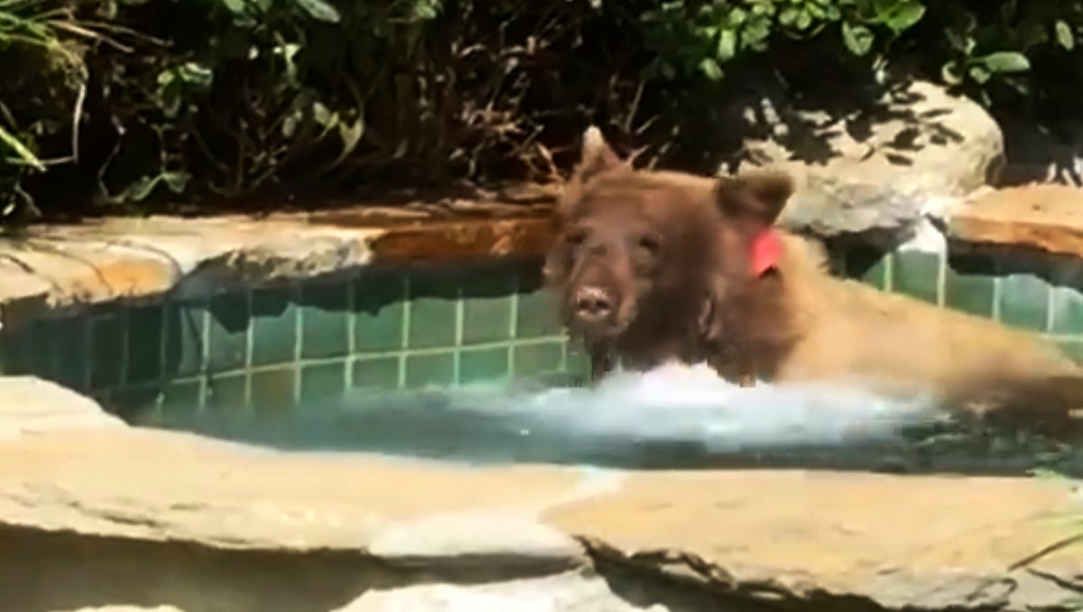 This Friday, June 29, 2018, image made from video released by Mark Hough shows a bear in a hot tub in Hough's backyard in Altadena, Calif. Hough said he was lounging in his Altadena backyard Friday afternoon when he heard rustling, then saw the bear climbing over a fence into his yard. He retreated inside, leaving his margarita behind, and later saw the bear in the hot tub.