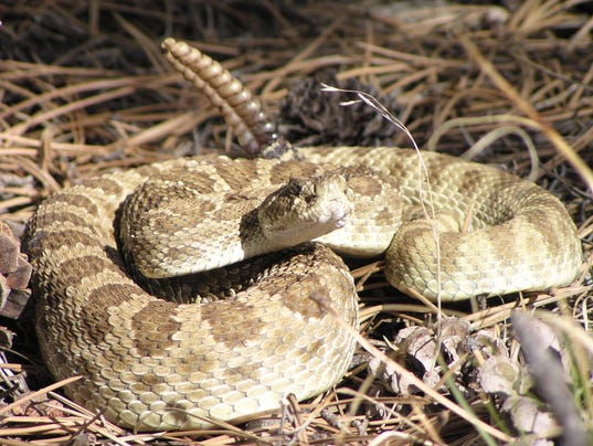 636051395209196834-FTCBrd-04-04-2015-Coloradoan-1-A001--2015-04-03-IMG-rattlesnakes-fort-co-1-1-8SACS78L-L590390611-IMG-rattlesnakes-fort-co-1-1-8SACS78L.jpg