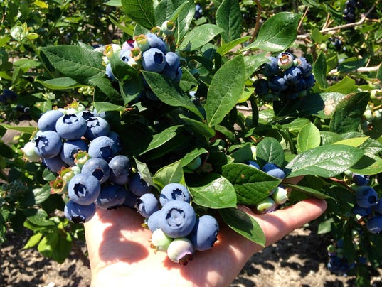 Blueberry-Plants-DiMeo-Farms-Blueberry-Bushes-Grow-Big-Organic-Blueberries.jpg