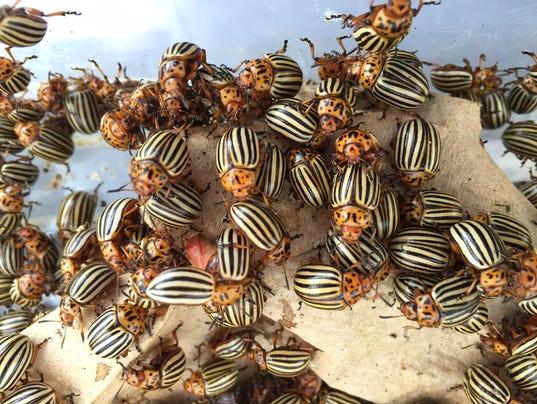WSF 0209 Potato Beetle-4.jpeg