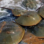 Did You Know: Horseshoe crabs