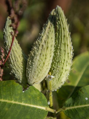 Milkweed pods ripen at Borderview Research Farm in Alburgh. Spreading primarily through underground shoots, or rhizomes, the plants take several years to establish themselves and produce seed.
