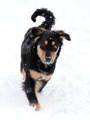 Chili, a one-time scruffy little shelter pup, grew into a talented hunter and herder.