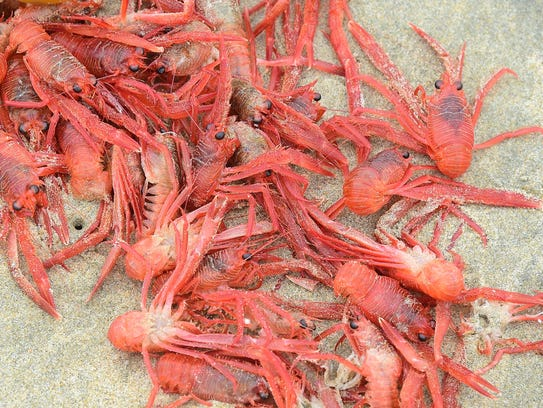 Tiny red crabs washed up on shore at Newport Beach