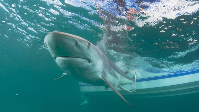 Blacktip sharks like this one are suspected to being the leading cause of shark bites off the Southeastern coast of the United States, but the numbers counted off Palm Beach County have dwindled in recent years.