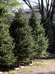Phil Civello, owner of Misty Run Tree Farm, says live