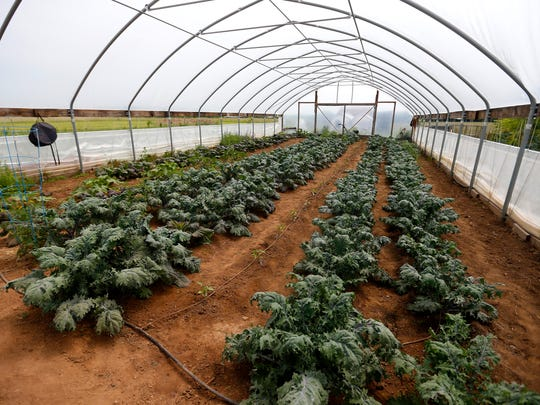Kale alongs with other vegetables is grown in a high tunnel for Sneaky Greens, a local spice blend company that marries things like salt, peppercorns and Italian seasoning with preserved mustard greens and kale.