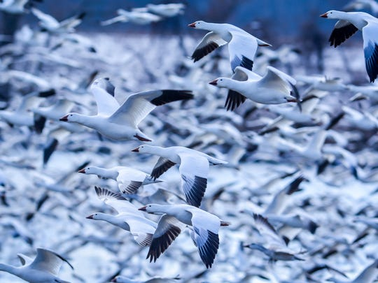 Tens of thousands of snow geese, along with tundra swans, Canada geese and ducks, make a stop at Middle Creek Wildlife Management Area in Lancaster and Lebanon counties during their spring migration, Saturday, Feb. 18, 2018. John A. Pavoncello photo
