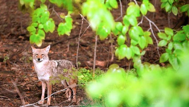 Coyotes are surviving in suburbia, which sometimes means residents must change their habits.