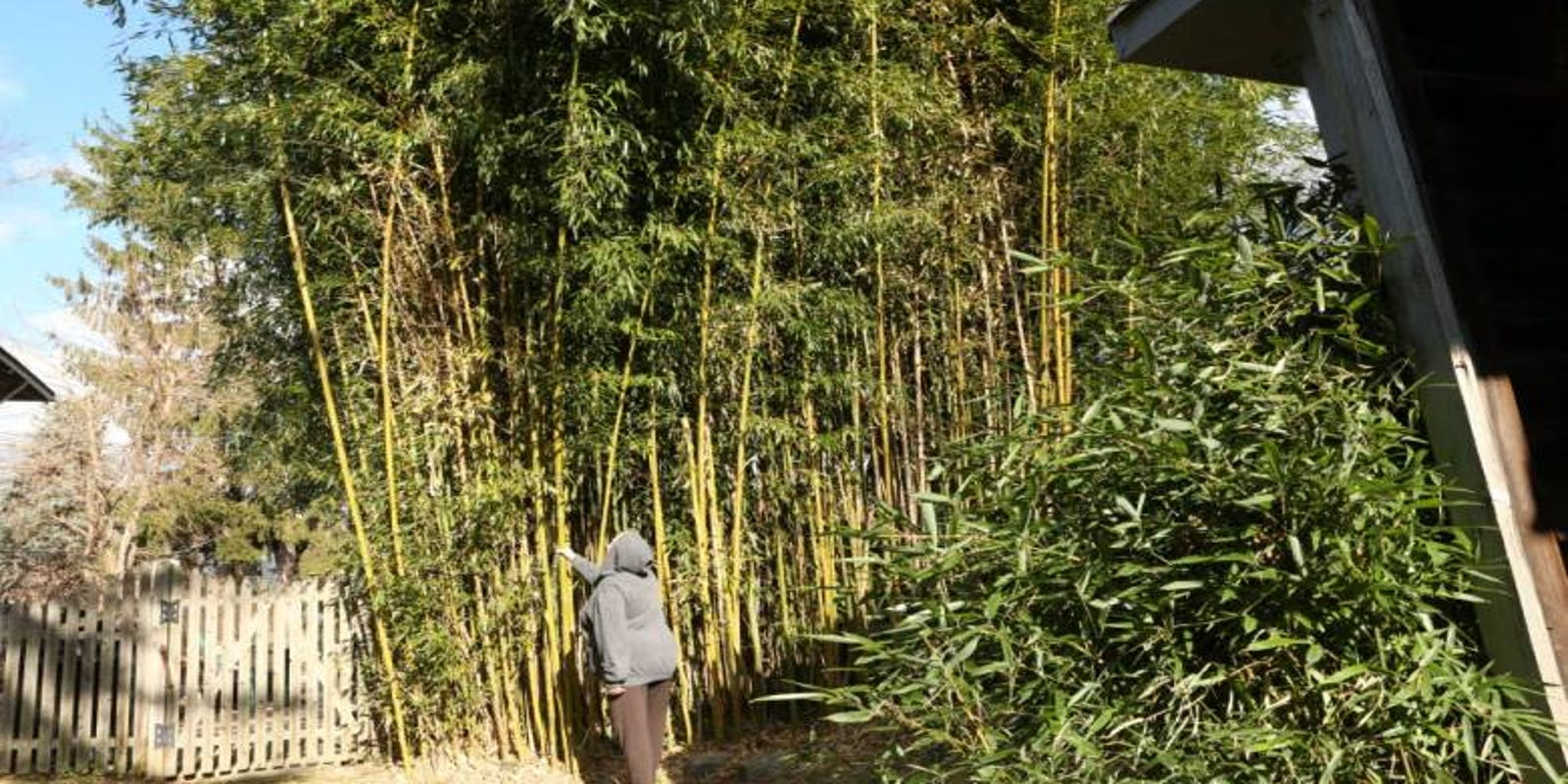Nj Supreme Court Divided Over Neighbors Fight About Backyard Bamboo