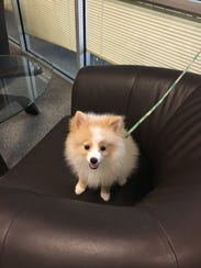 Meringue the Pomeranian makes a special appearance
