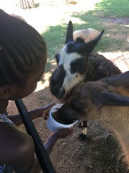 Kiriah, 7, feeds animals at the Safari Park this past