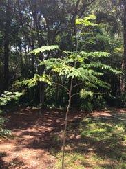 A moringa tree