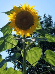 The sunflower is a Native American plant that was and