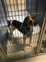 A dog up for adoption at the new Oakland County Animal