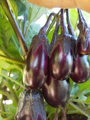 Eggplant is easier to find and pick when its closer