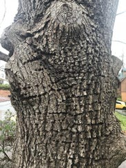 The trunk of a Bradford pear tree in columnist Ron