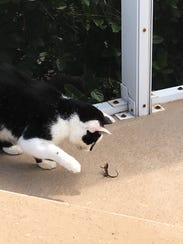 Holstein the cat meets a lizard at his new home in