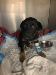 Cardi P and two other puppies were found Sunday in