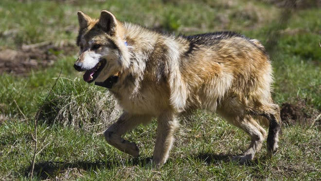 A male Mexican gray wolf wanders inside a holding pen before eventual release to the wild near Corduroy Creek, south of Alpine, in 2013.
