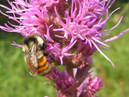 635972913681390535-tri-colored-bumblebee.JPG