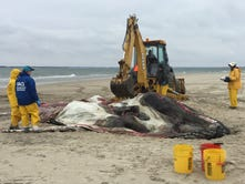 Beached whale found at Chincoteague confirmed dead