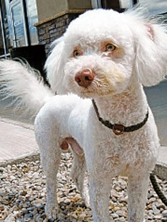 This male bichon frise is a year old. His owner passed away. He is friendly, seems to get along with other dogs and children, loving, playful and needs room to run and play. He is sponsored by Cottonwood Pet Resort. For more information about adopting a Pet of the Week or other furry friends visit Alamogordo Animal Control, 2910 N. Florida Avenue, Monday through Saturday between noon and 5 p.m. or contact them at 439-4330.
