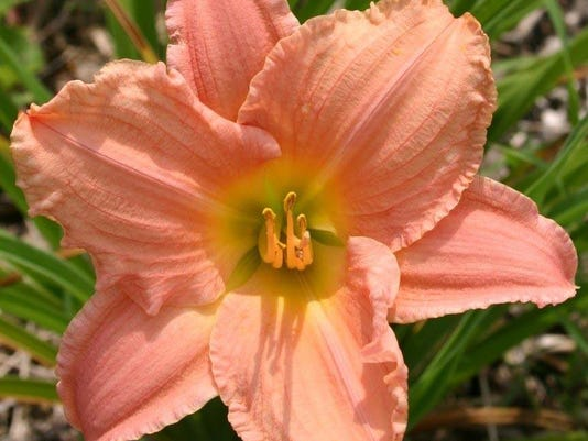Hemerocallis Pink Playmate