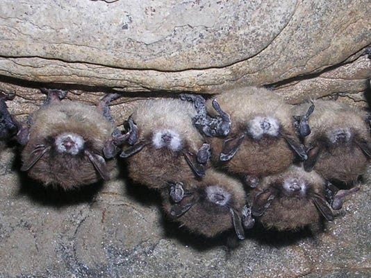 ITH New York bats white nose syndrome