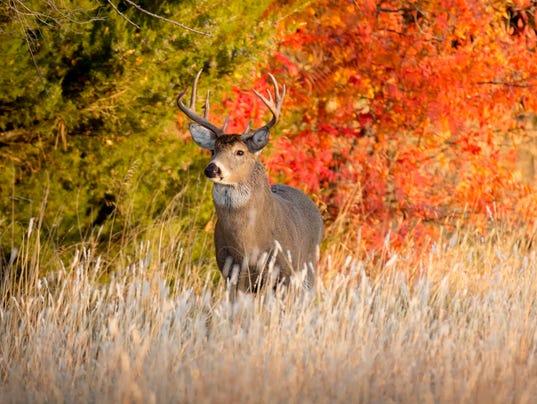 Powerful Male Whitetail Buck During Fall Rutting Season In Kansas