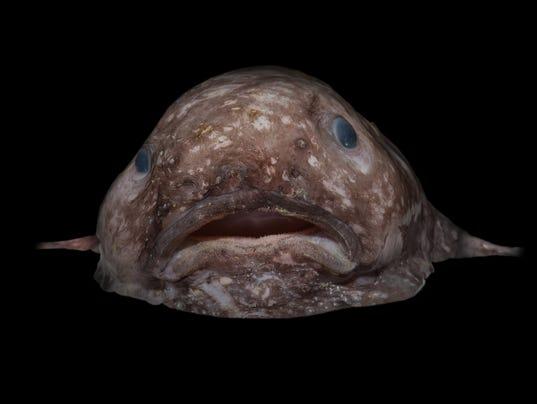 636336379901013096-Blob-fish-credit-Rob-Zugaro.jpg