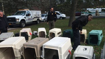 Officials from Lollypop Farm seized 32 dogs and 3 cats from a residence in Penfield on February 4, 2016.