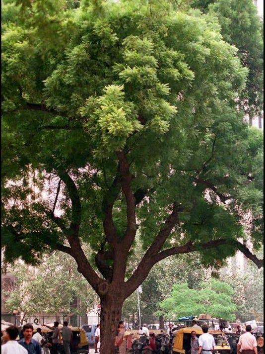 Neem Tree in a New Delhi street taken 15 Sept. A