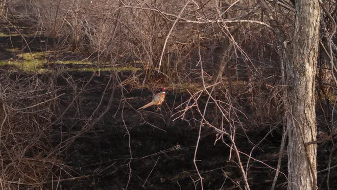 The morning after a prescribed burn in the Thumb's Verona State Game Area, this ring-necked pheasant was quick to return home.