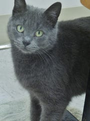 Grace is a 2-year-old all gray girl with gorgeous green