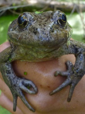 The California red-legged frog was once a common species found in Southern California.