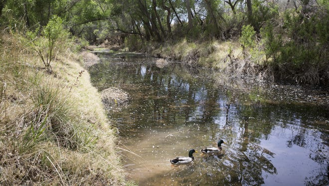 Mallards swim on the San Pedro River in April 2014 near Palominas.