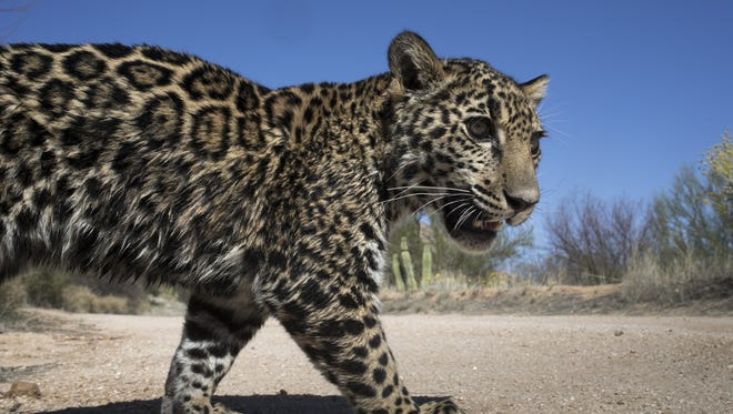 Tutu'uli, a 6-month-old female jaguar at the Ecological Center of Sonora, in Hermosillo, Mexico, on March 19, 2017.