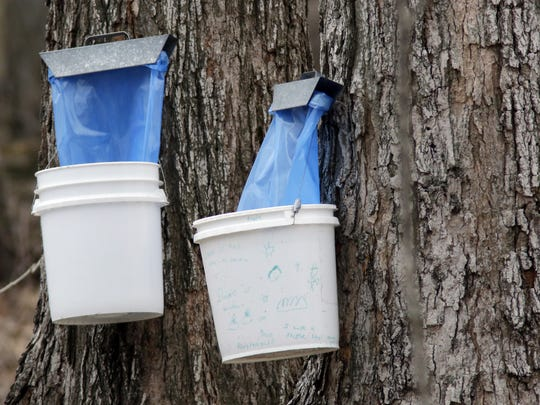 Maple syrup taps catch sap at the Ellwood H. May Environmental Park Tuesday March 28, 2017 in Sheboygan, WI.  With the year's taps being reduced by 30,000 to a total of 735,000, the year's production dropped to 200,000 gallons compared to 235,000 gallons a year ago.