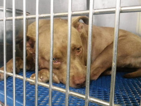 A pit bull lies in a cage at the city of El Paso's Animal Services Center.