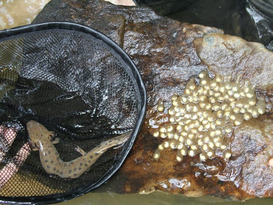 A mudpuppy mom stays close to her eggs, which are attached to the bottom of this rock. They stay with their eggs and newly hatched larvae to protect them from predators such as crayfish, said Greg Lipps, program manager for amphibian and reptile conservation for the Ohio Biodiversity Conservation Partnership between The Ohio State University and the Ohio Department of Natural Resources.