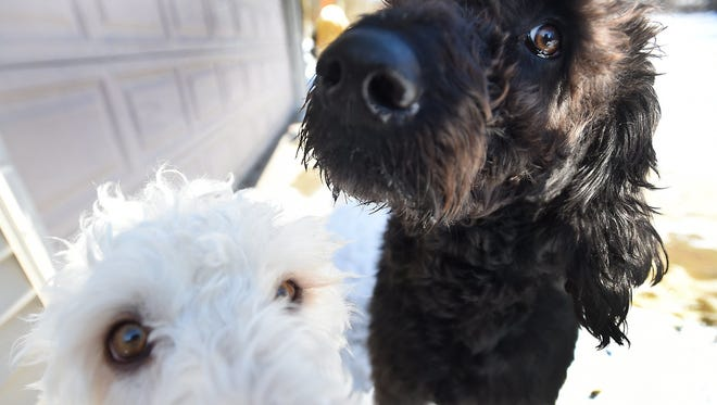 """Labradoodles Eva, bottom, and Adam owned by Susan and Lonnie Chester are photographed at their home near Vineyard Lake in Norvell Township, Mich., on Thursday, Jan. 18, 2017.  On Jan. 13, the dogs pointed out a fallen elderly woman on the ground, freezing with nothing on but a night gown. """"It could have been a tragic outcome had Adam and Eva not woken us,"""" Susan said. """"I don't know how they knew she was out there."""""""