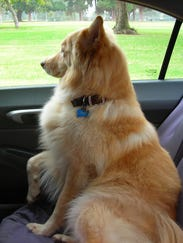 Photo of dog looking out car window