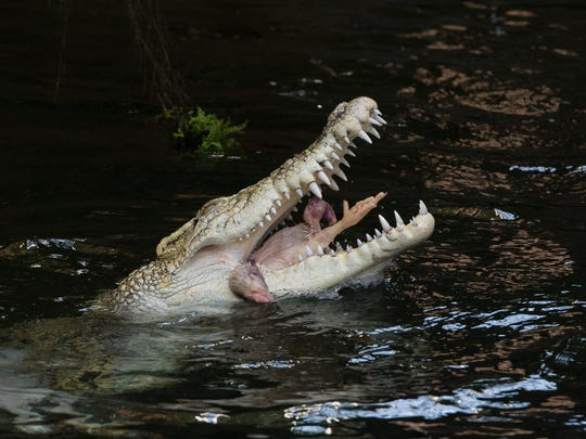 A saltwater crocodile enjoys a chicken thrown to him