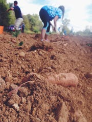 Sweet potatoes are harvested by volunteers at West Farms.