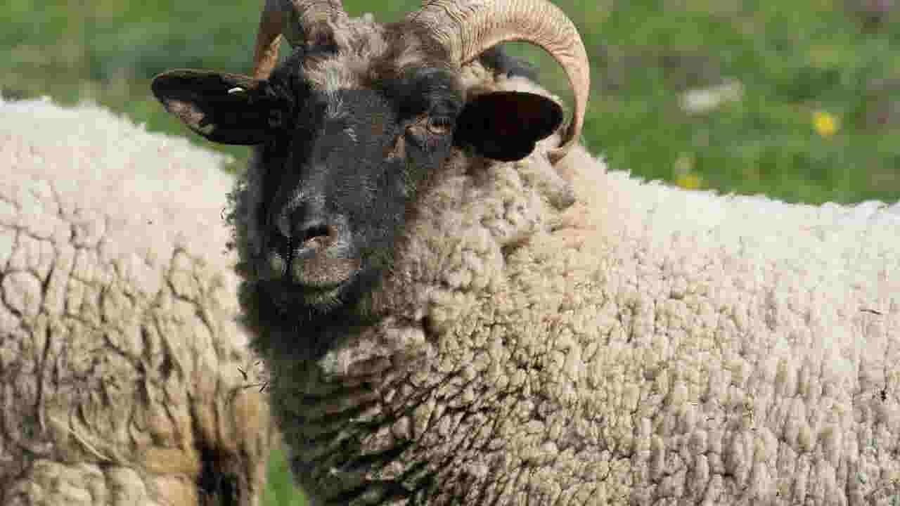 endangered sheep being raised in georgetown