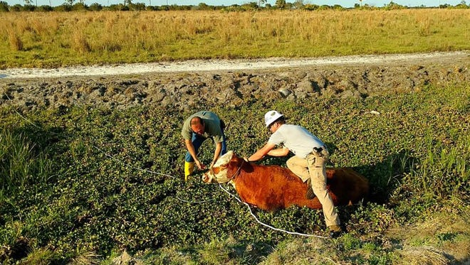 Workers from Barnard Construction spotted the cow in a dry canal in Indiantown.
